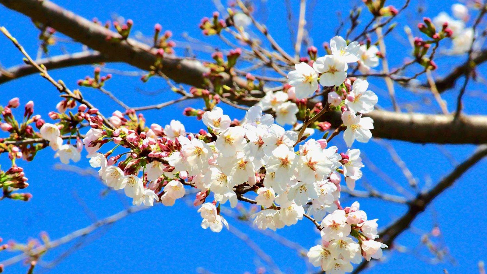 OSIPP-cherry-Blossom